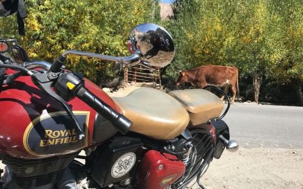 A red Enfield Bullet and a cow