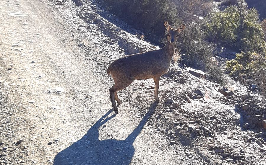 Klipspringer on the road to Die Hel